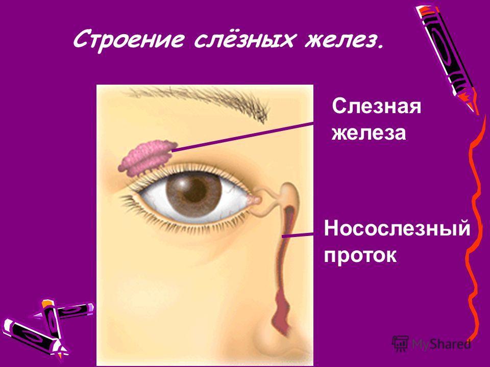 Строение слёзных желез. Слезная железа Носослезный проток