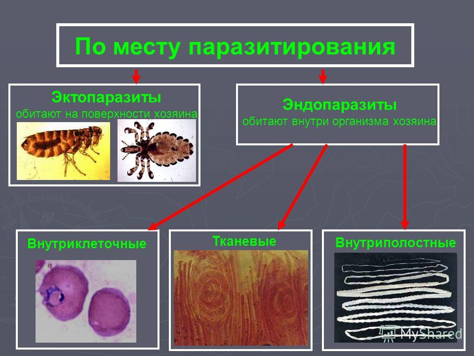 По месту паразитирования Эктопаразиты обитают на поверхности хозяина Эндопаразиты обитают внутри организма хозяина Внутриклеточные Тканевые Внутриполостные