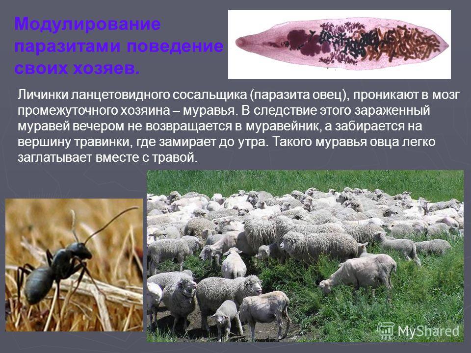 Модулирование паразитами поведение своих хозяев. Личинки ланцетовидного сосальщика (паразита овец), проникают в мозг промежуточного хозяина – муравья. В следствие этого зараженный муравей вечером не возвращается в муравейник, а забирается на вершину