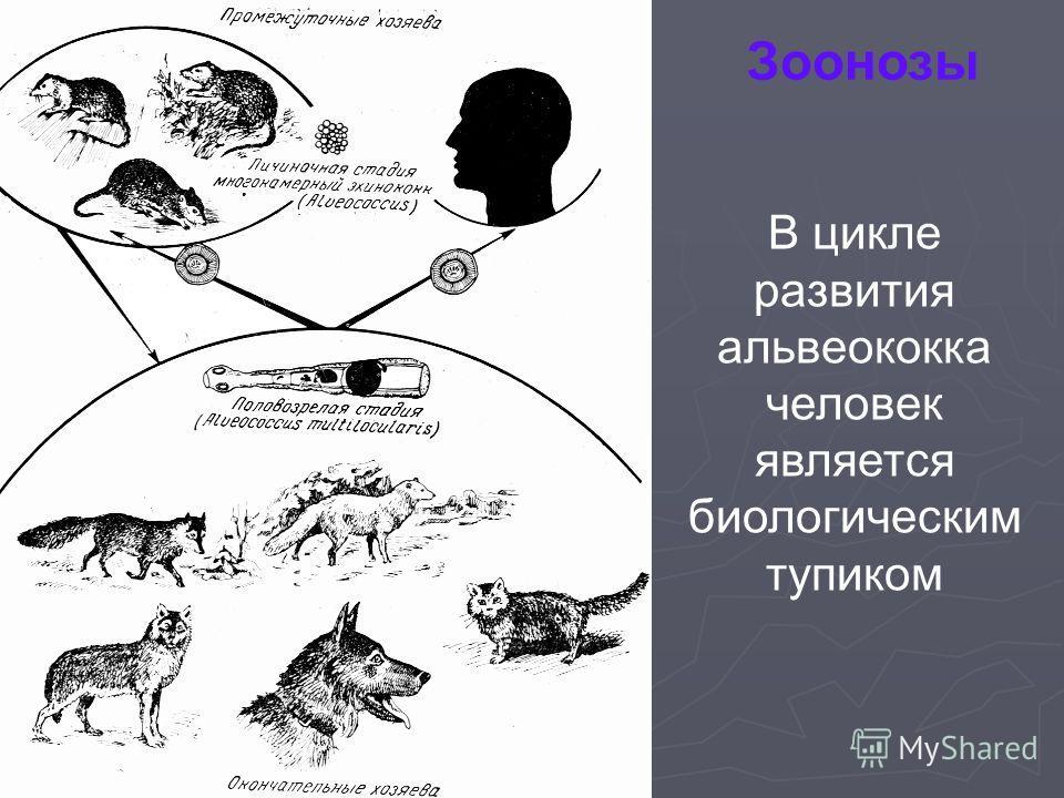Зоонозы В цикле развития альвеококка человек является биологическим тупиком