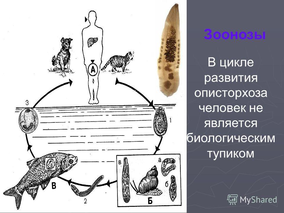 Зоонозы В цикле развития описторхоза человек не является биологическим тупиком