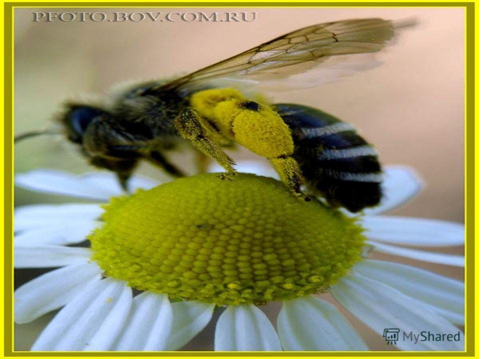 Не птица, а с крыльями, Над цветами летает, медок собирает.
