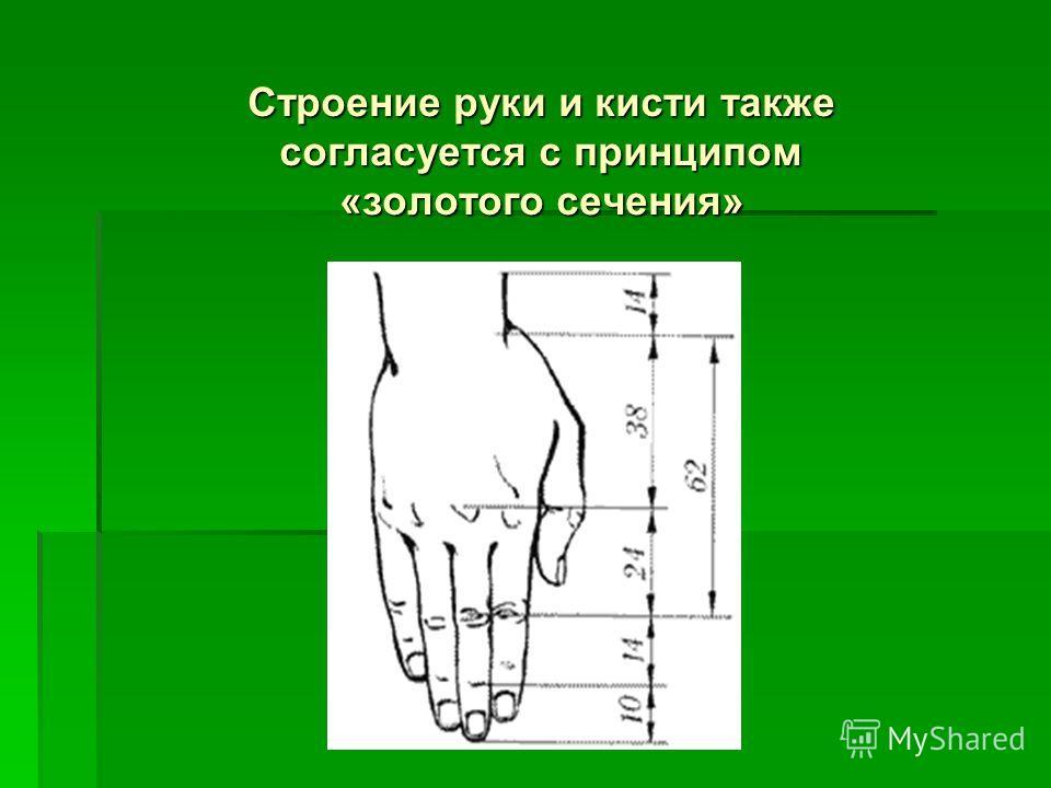 Строение руки и кисти также согласуется с принципом «золотого сечения»