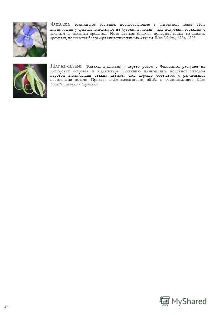 Фиалка травянистое растение, произрастающее в умеренном поясе. При дистилляции у фиалки используют не бутоны, а листья – для получения эссенции с зеленым и сильным ароматом. Нота цветков фиалки, присутствующая во многих ароматах, получается благодаря