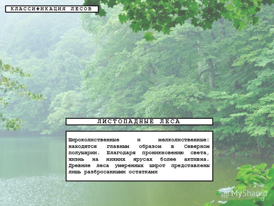 КЛАССИФИКАЦИЯ ЛЕСОВ ЛИСТОПАДНЫЕ ЛЕСА Широколиственные и мелколиственные: находятся главным образом в Северном полушарии. Благодаря проникновению света, жизнь на нижних ярусах более активна. Древние леса умеренных широт представлены лишь разбросанными