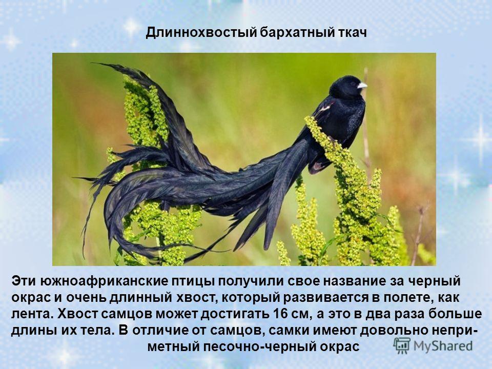 Длиннохвостый бархатный ткач Эти южноафриканские птицы получили свое название за черный окрас и очень длинный хвост, который развивается в полете, как лента. Хвост самцов может достигать 16 см, а это в два раза больше длины их тела. В отличие от самц