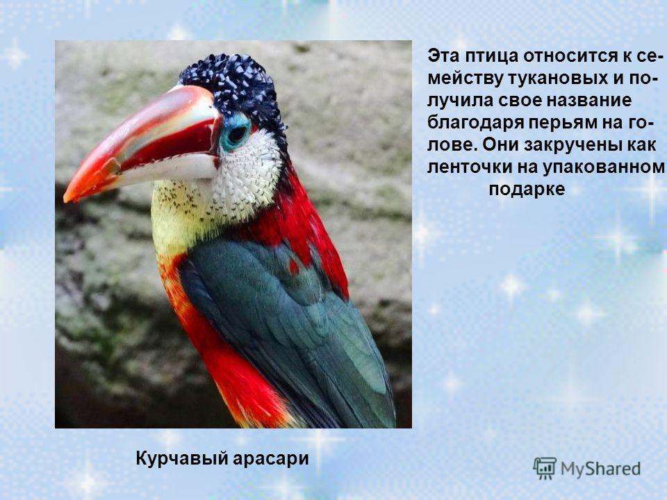 Курчавый арасари Эта птица относится к се- мейству тукановых и по- лучила свое название благодаря перьям на го- лове. Они закручены как ленточки на упакованном подарке