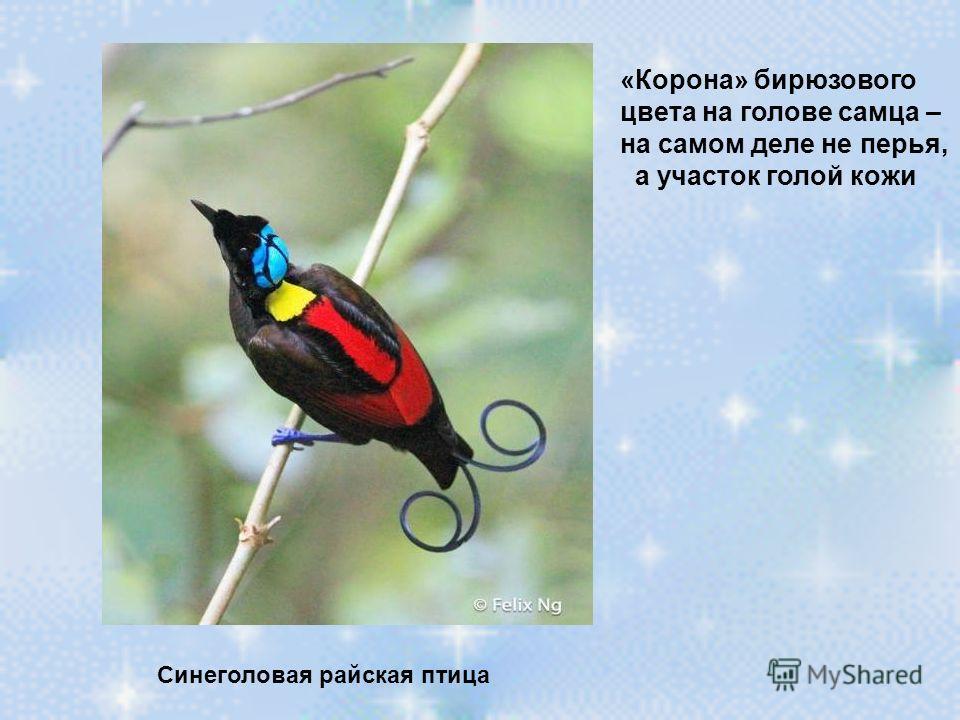 Синеголовая райская птица «Корона» бирюзового цвета на голове самца – на самом деле не перья, а участок голой кожи