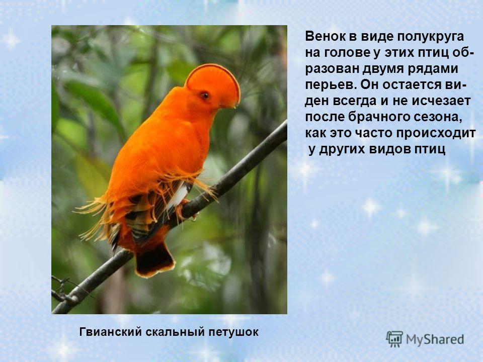 Гвианский скальный петушок Венок в виде полукруга на голове у этих птиц об- разован двумя рядами перьев. Он остается ви- ден всегда и не исчезает после брачного сезона, как это часто происходит у других видов птиц