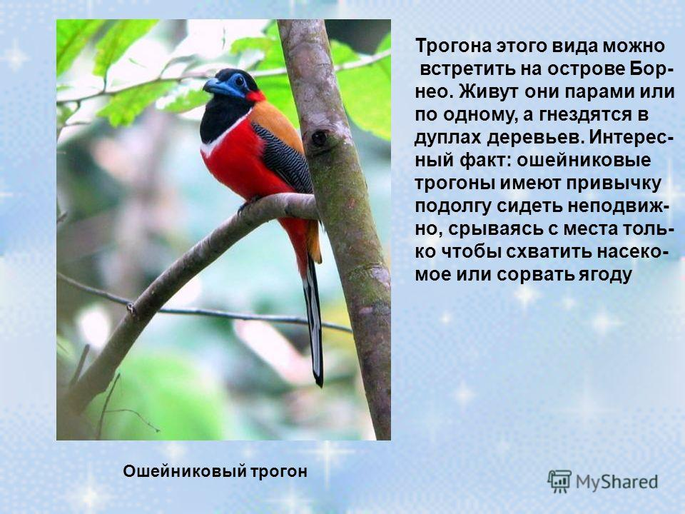 Трогона этого вида можно встретить на острове Бор- нео. Живут они парами или по одному, а гнездятся в дуплах деревьев. Интерес- ный факт: ошейниковые трогоны имеют привычку подолгу сидеть неподвиж- но, срываясь с места толь- ко чтобы схватить насеко-