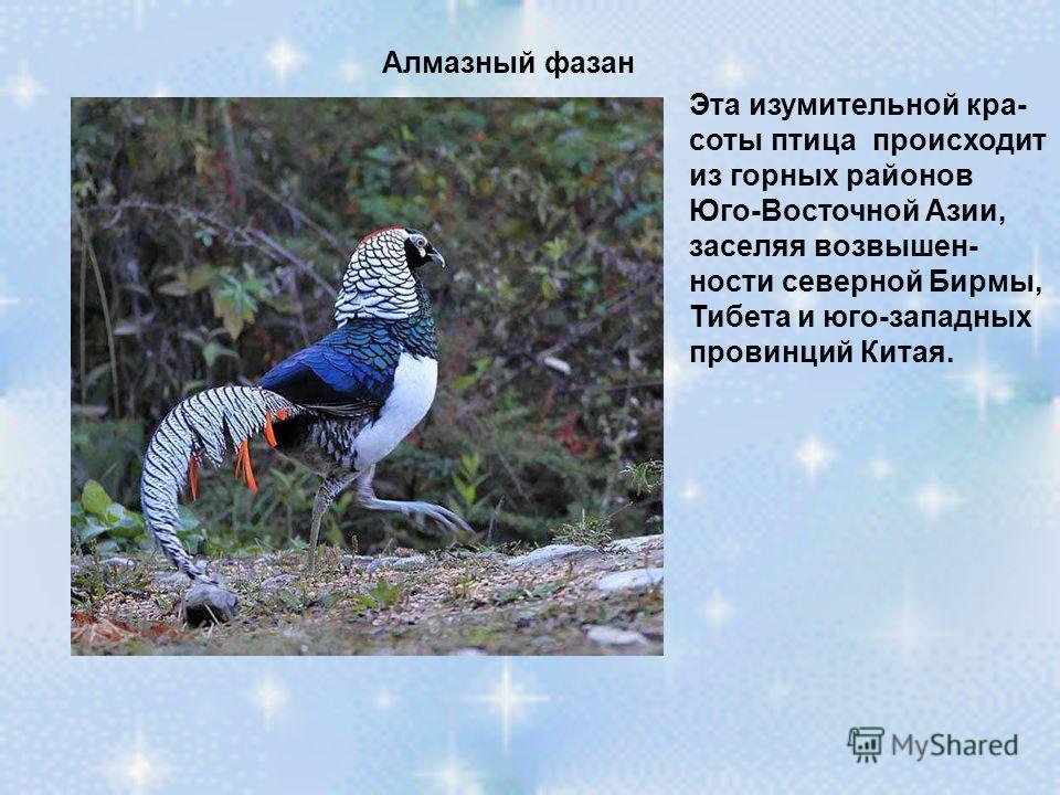 Алмазный фазан Эта изумительной кра- соты птица происходит из горных районов Юго-Восточной Азии, заселяя возвышен- ности северной Бирмы, Тибета и юго-западных провинций Китая.