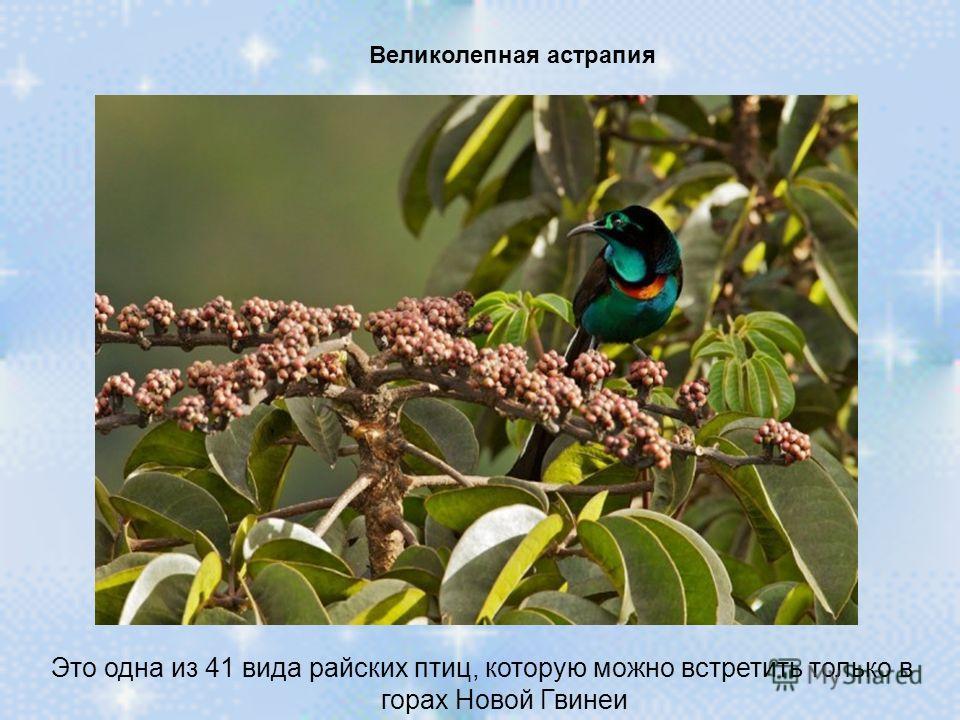 Великолепная астрапия Это одна из 41 вида райских птиц, которую можно встретить только в горах Новой Гвинеи
