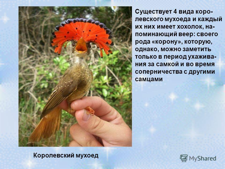 Королевский мухоед Существует 4 вида коро- левского мухоеда и каждый их них имеет хохолок, на- поминающий веер: своего рода «корону», которую, однако, можно заметить только в период ухажива- ния за самкой и во время соперничества с другими самцами
