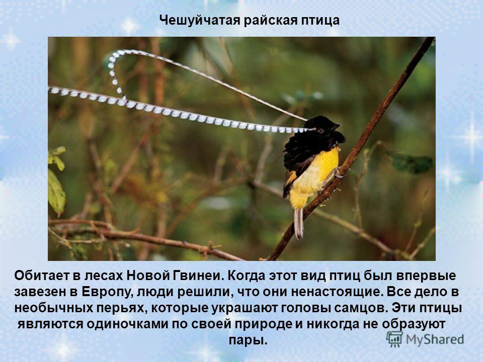 Чешуйчатая райская птица Обитает в лесах Новой Гвинеи. Когда этот вид птиц был впервые завезен в Европу, люди решили, что они ненастоящие. Все дело в необычных перьях, которые украшают головы самцов. Эти птицы являются одиночками по своей природе и н