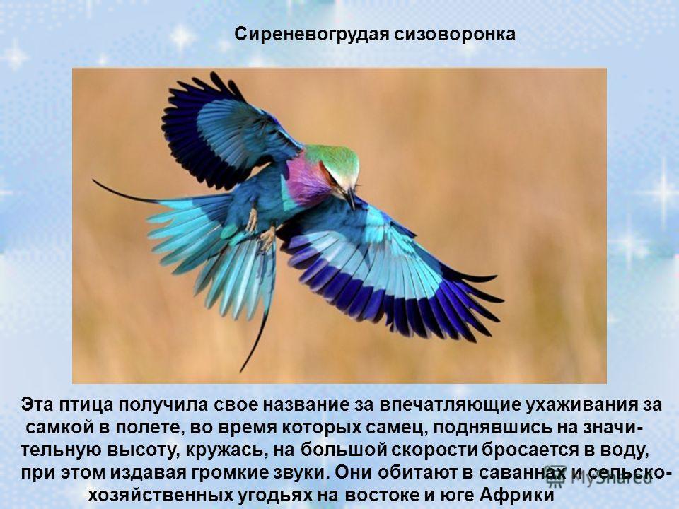 Сиреневогрудая сизоворонка Эта птица получила свое название за впечатляющие ухаживания за самкой в полете, во время которых самец, поднявшись на значи- тельную высоту, кружась, на большой скорости бросается в воду, при этом издавая громкие звуки. Они