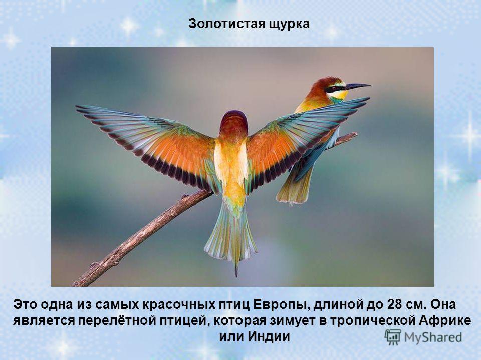 Золотистая щурка Это одна из самых красочных птиц Европы, длиной до 28 см. Она является перелётной птицей, которая зимует в тропической Африке или Индии