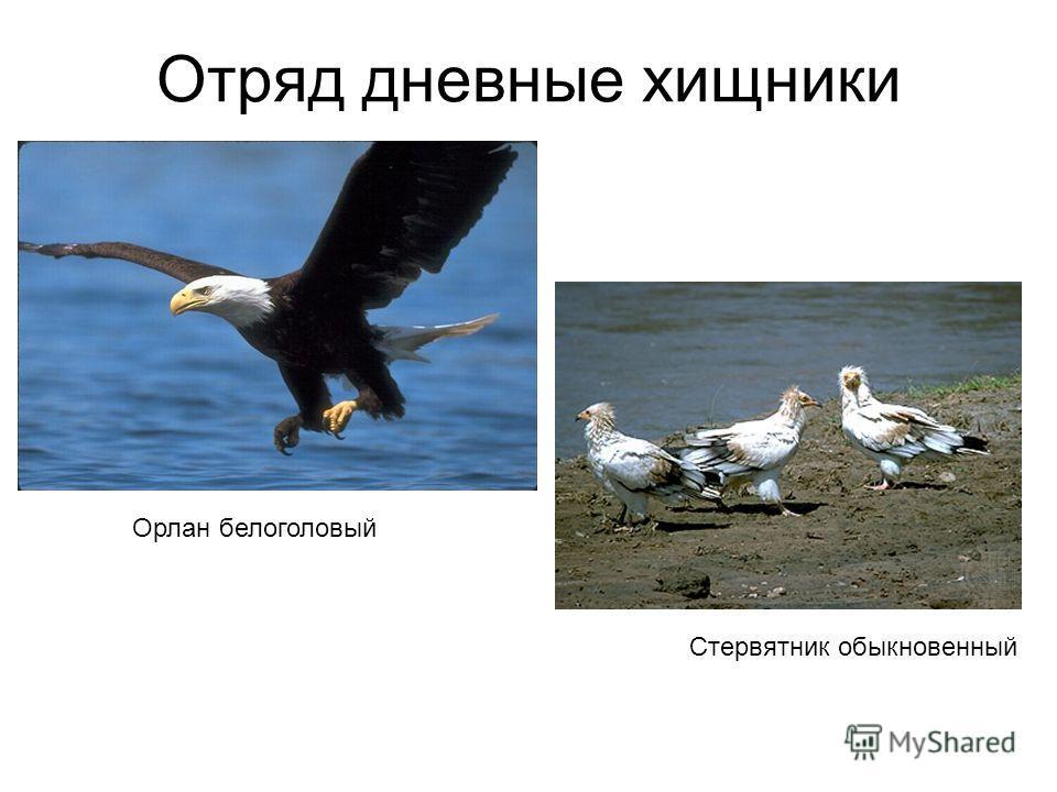 Отряд дневные хищники Орлан белоголовый Стервятник обыкновенный