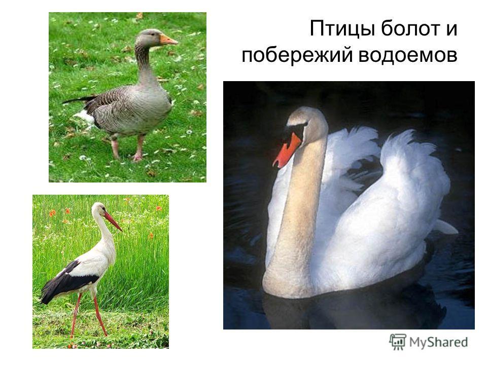 Птицы болот и побережий водоемов