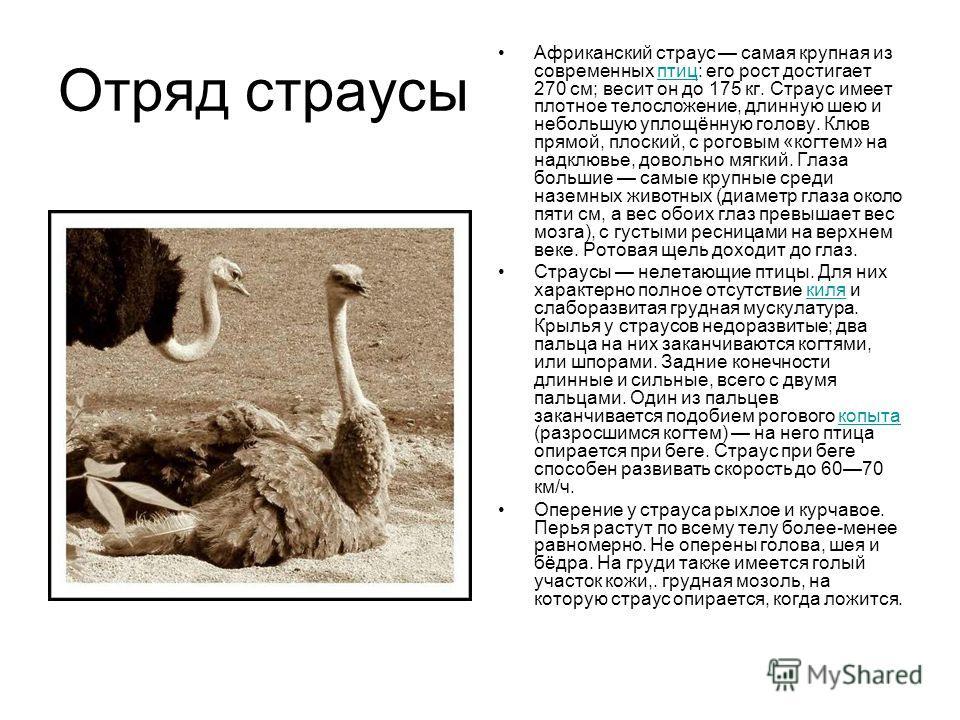 Отряд страусы Африканский страус самая крупная из современных птиц: его рост достигает 270 см; весит он до 175 кг. Страус имеет плотное телосложение, длинную шею и небольшую уплощённую голову. Клюв прямой, плоский, с роговым «когтем» на надклювье, до