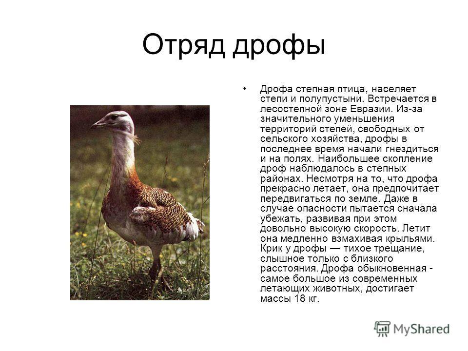 Отряд дрофы Дрофа степная птица, населяет степи и полупустыни. Встречается в лесостепной зоне Евразии. Из-за значительного уменьшения территорий степей, свободных от сельского хозяйства, дрофы в последнее время начали гнездиться и на полях. Наибольше