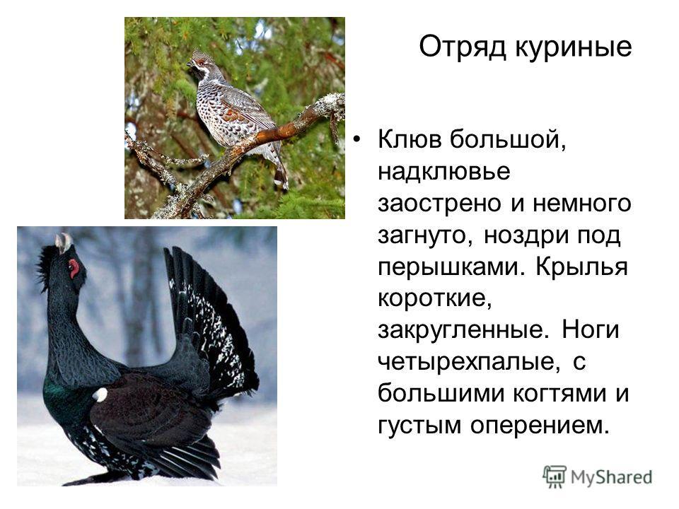 Отряд куриные Клюв большой, надклювье заострено и немного загнуто, ноздри под перышками. Крылья короткие, закругленные. Ноги четырехпалые, с большими когтями и густым оперением.