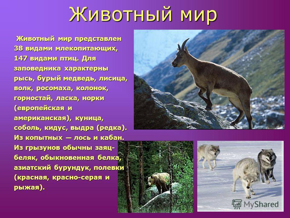 Животный мир представлен 38 видами млекопитающих, 147 видами птиц. Для заповедника характерны рысь, бурый медведь, лисица, волк, росомаха, колонок, горностай, ласка, норки (европейская и американская), куница, соболь, кидус, выдра (редка). Из копытны