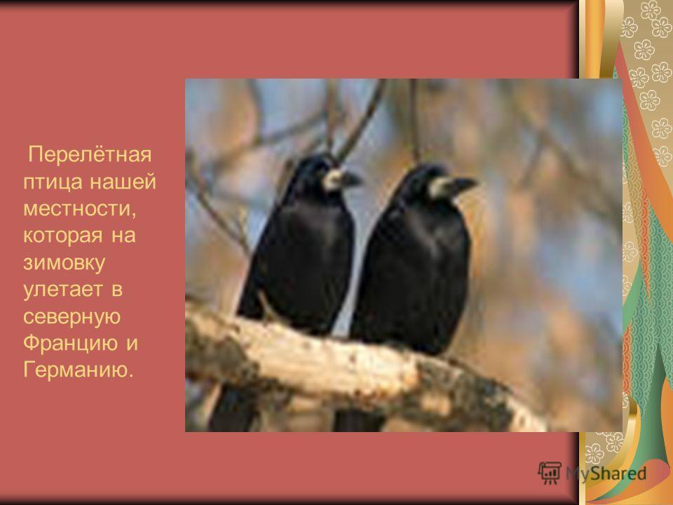 Перелётная птица нашей местности, которая на зимовку улетает в северную Францию и Германию.