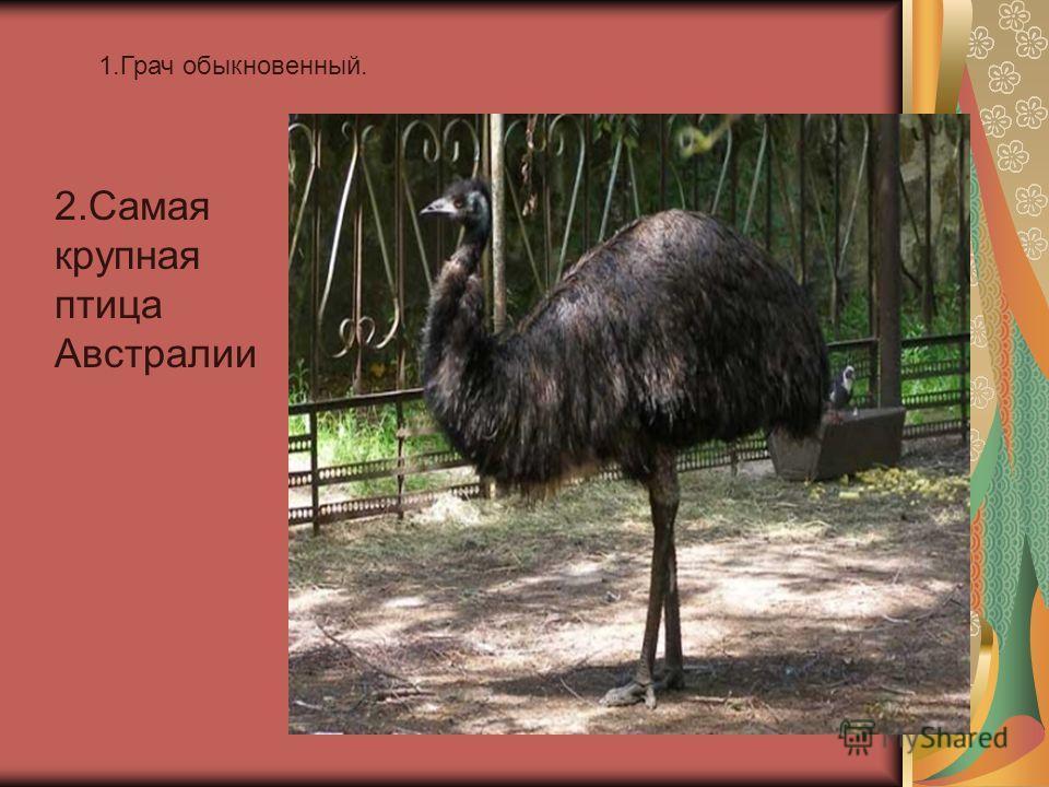 1. Грач обыкновенный. 2. Самая крупная птица Австралии