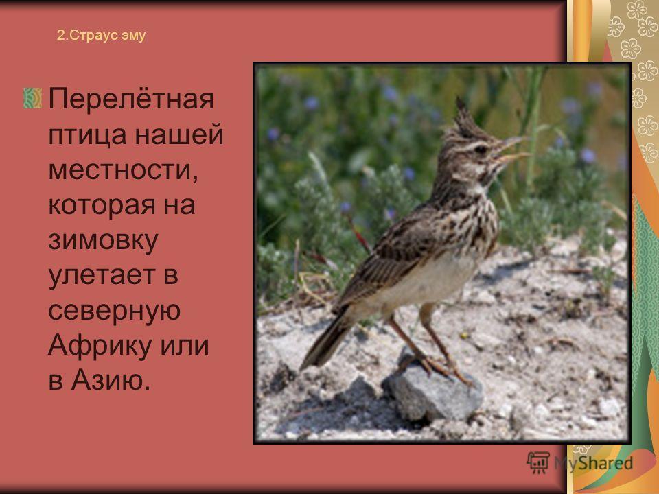2. Страус эму Перелётная птица нашей местности, которая на зимовку улетает в северную Африку или в Азию.