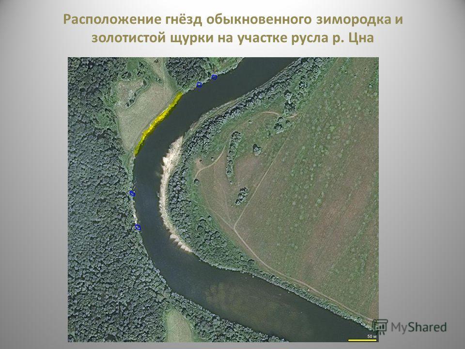 Расположение гнёзд обыкновенного зимородка и золотистой щурки на участке русла р. Цна