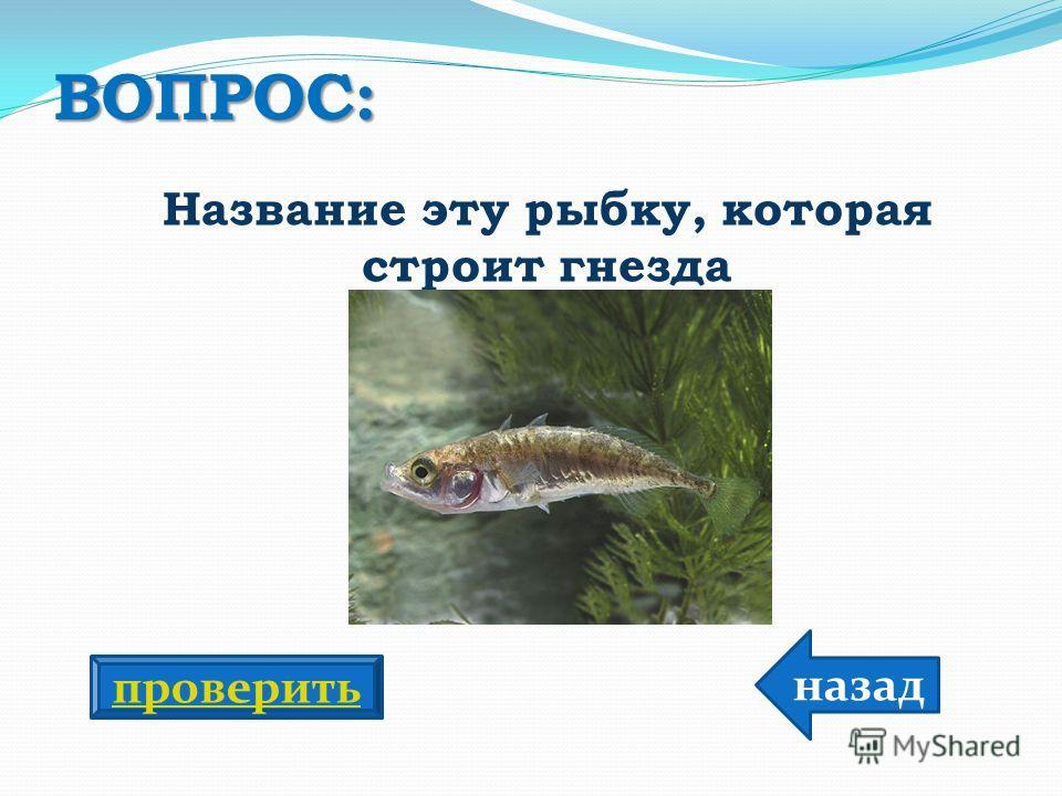 ВОПРОС: Название эту рыбку, которая строит гнезда назад проверить