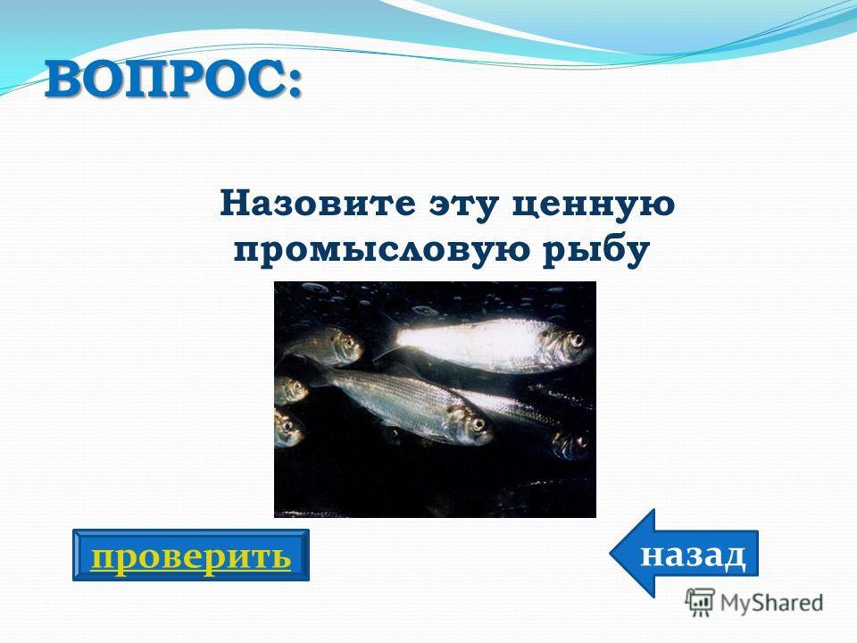 ВОПРОС: Назовите эту ценную промысловую рыбу назад проверить