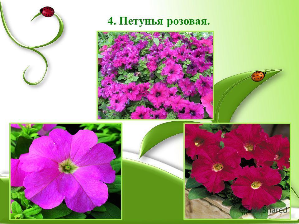 4. Петунья розовая.