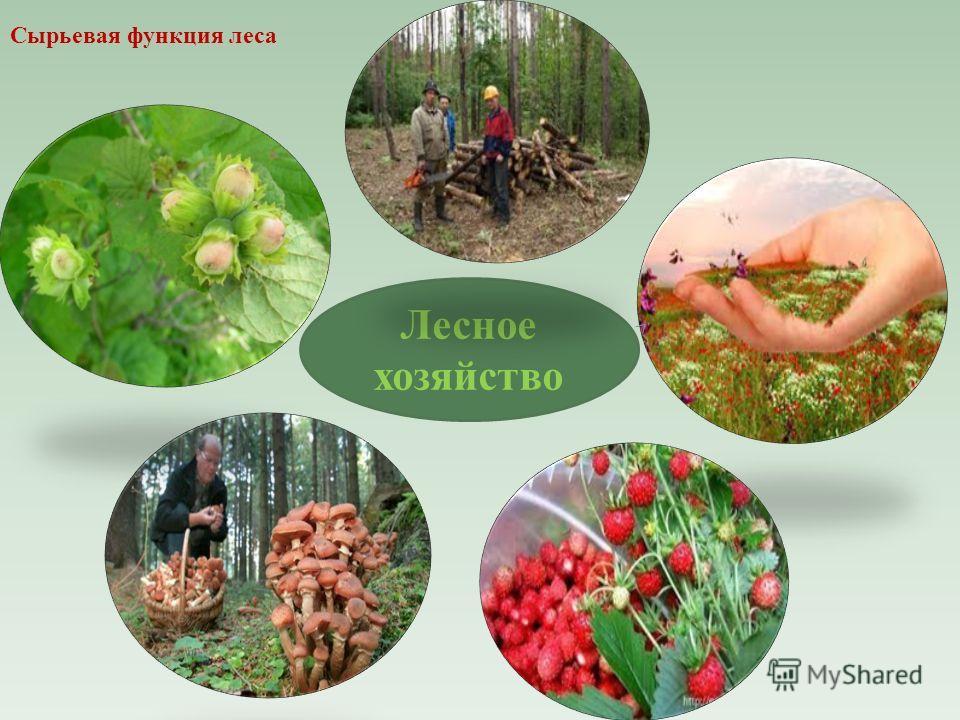 Лесное хозяйство Сырьевая функция леса