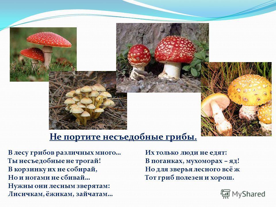Не портите несъедобные грибы. В лесу грибов различных много… Ты несъедобные не трогай! В корзинку их не собирай, Но и ногами не сбивай… Нужны они лесным зверятам: Лисичкам, ёжикам, зайчатам… Их только люди не едят: В поганках, мухоморах – яд! Но для