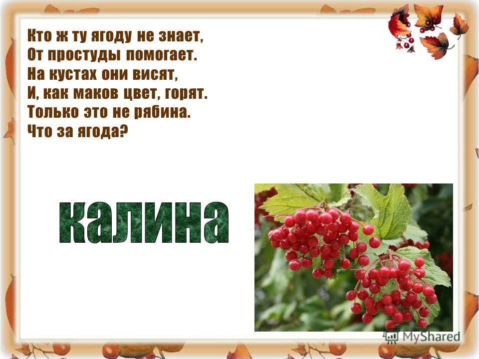 Кто ж ту ягоду не знает, От простуды помогает. На кустах они висят, И, как маков цвет, горят. Только это не рябина. Что за ягода?