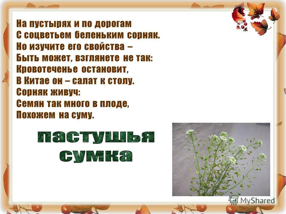 На пустырях и по дорогам С соцветьем беленьким сорняк. Но изучите его свойства – Быть может, взглянете не так: Кровотеченье остановит, В Китае он – салат к столу. Сорняк живуч: Семян так много в плоде, Похожем на суму.