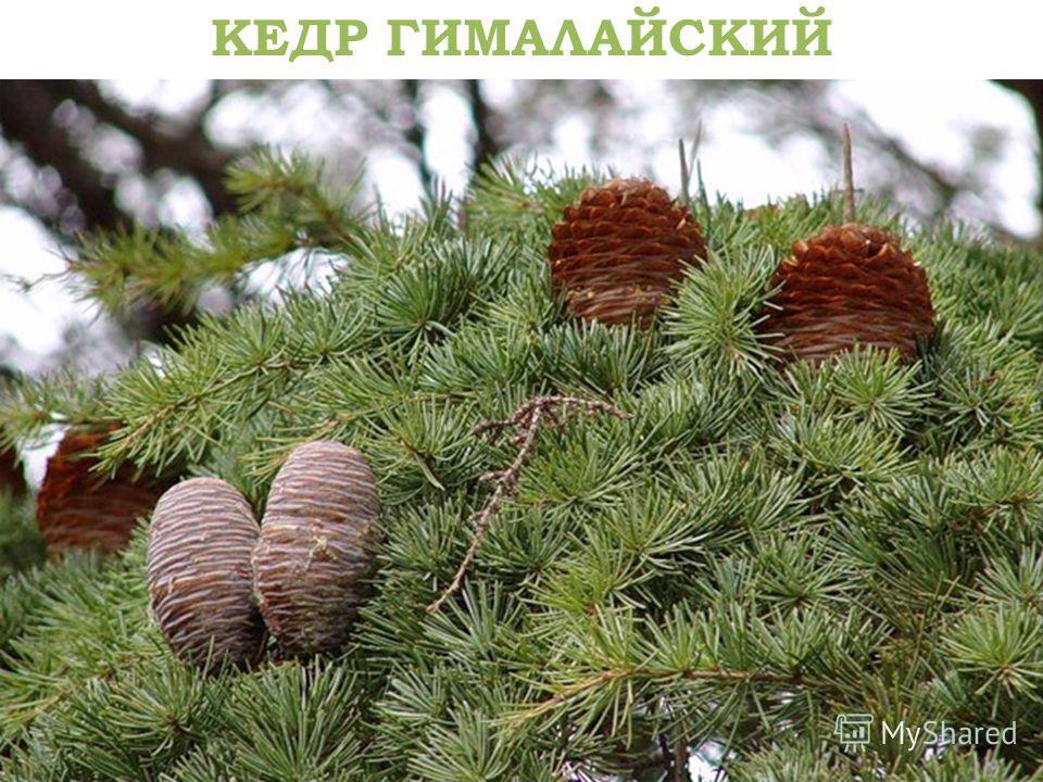 77 КЕДР ГИМАЛАЙСКИЙ