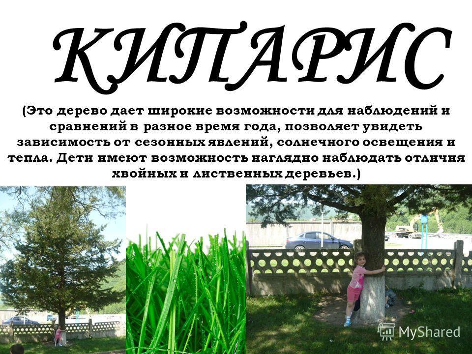 77 КИПАРИС (Это дерево дает широкие возможности для наблюдений и сравнений в разное время года, позволяет увидеть зависимость от сезонных явлений, солнечного освещения и тепла. Дети имеют возможность наглядно наблюдать отличия хвойных и лиственных де