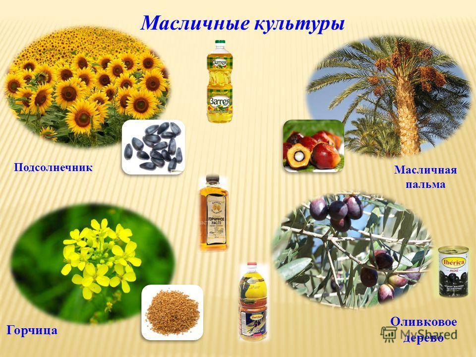 Подсолнечник Масличные культуры Масличная пальма Оливковое дерево Горчица