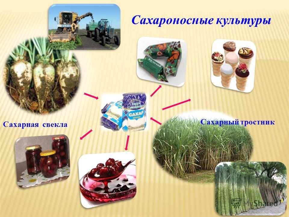 Сахароносные культуры Сахарная свекла Сахарный тростник