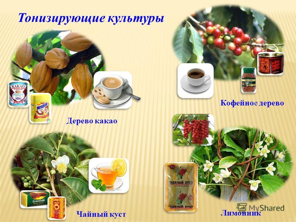Кофейное дерево Чайный куст Тонизирующие культуры Дерево какао Лимонник