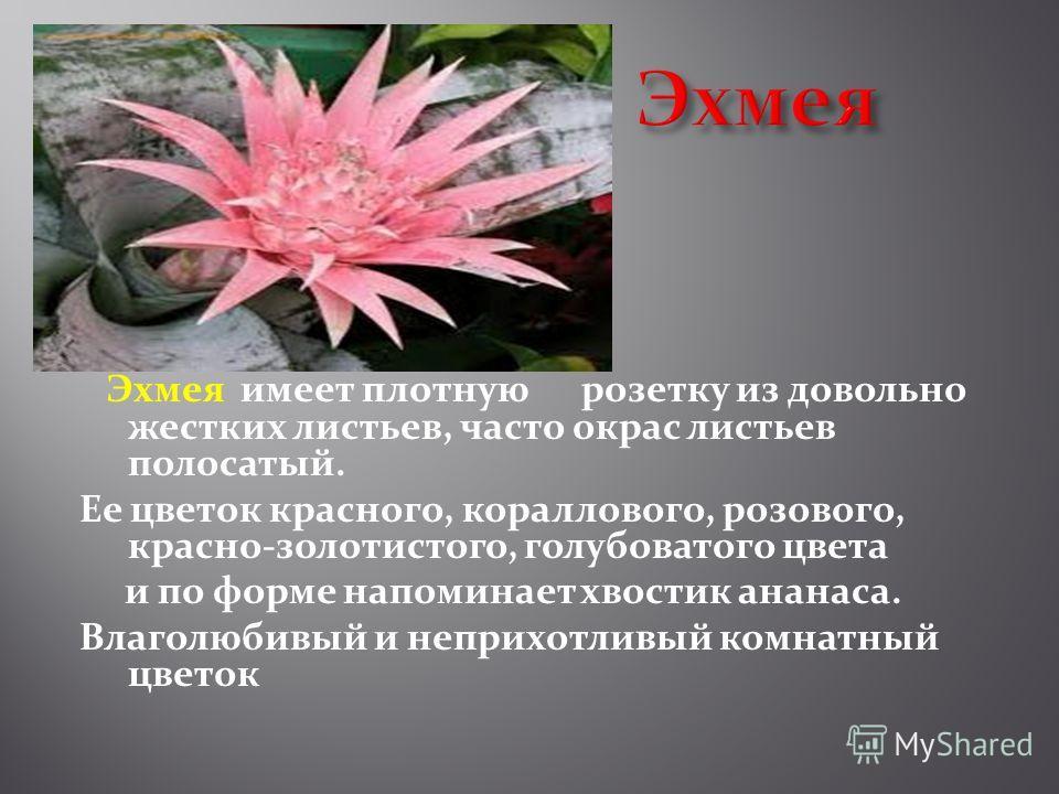 Эхмея имеет плотную розетку из довольно жестких листьев, часто окрас листьев полосатый. Ее цветок красного, кораллового, розового, красно-золотистого, голубоватого цвета и по форме напоминает хвостик ананаса. Влаголюбивый и неприхотливый комнатный цв