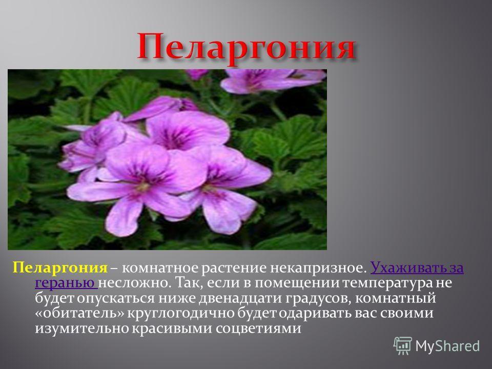 Пеларгония – комнатное растение некапризное. Ухаживать за геранью несложно. Так, если в помещении температура не будет опускаться ниже двенадцати градусов, комнатный «обитатель» круглогодично будет одаривать вас своими изумительно красивыми соцветиям