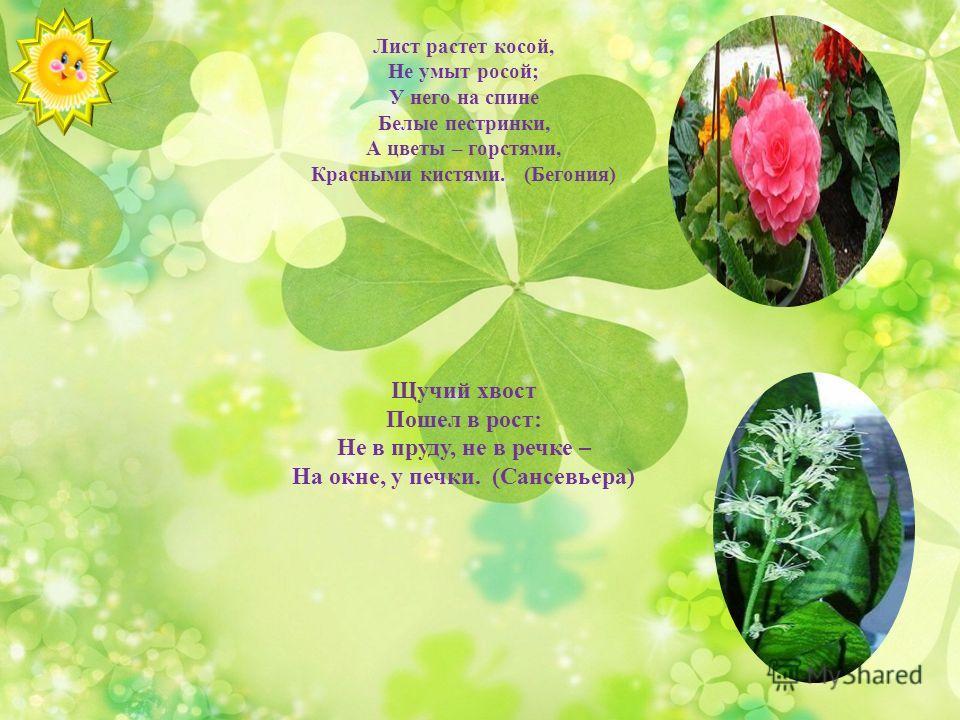 Лист растет косой, Не умыт росой; У него на спине Белые пестринки, А цветы – горстями, Красными кистями. (Бегония) Щучий хвост Пошел в рост: Не в пруду, не в речке – На окне, у печки. (Сансевьера)