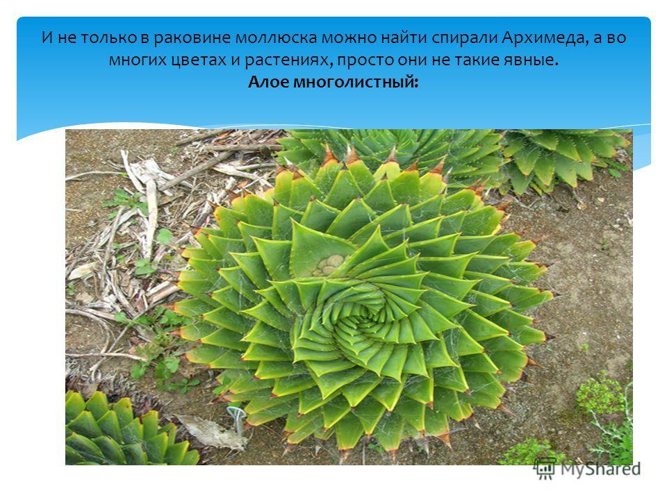 И не только в раковине моллюска можно найти спирали Архимеда, а во многих цветах и растениях, просто они не такие явные. Алое многолистный: