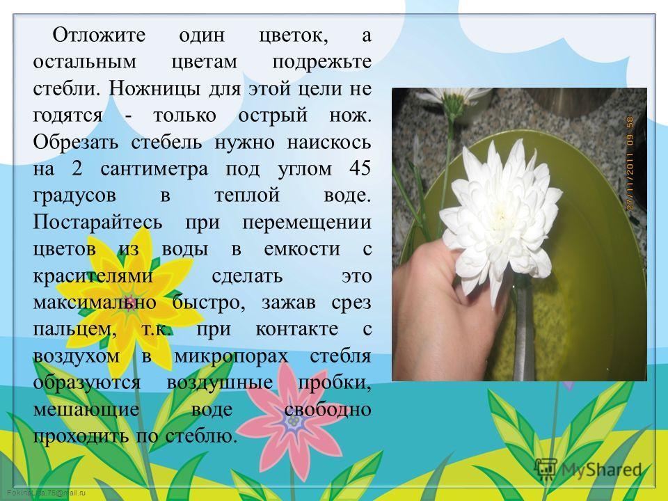 FokinaLida.75@mail.ru Отложите один цветок, а остальным цветам подрежьте стебли. Ножницы для этой цели не годятся - только острый нож. Обрезать стебель нужно наискось на 2 сантиметра под углом 45 градусов в теплой воде. Постарайтесь при перемещении ц