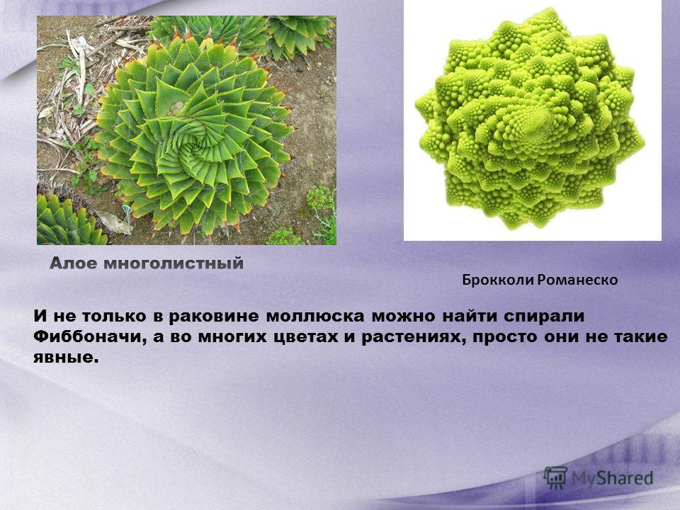 И не только в раковине моллюска можно найти спирали Фиббоначи, а во многих цветах и растениях, просто они не такие явные.