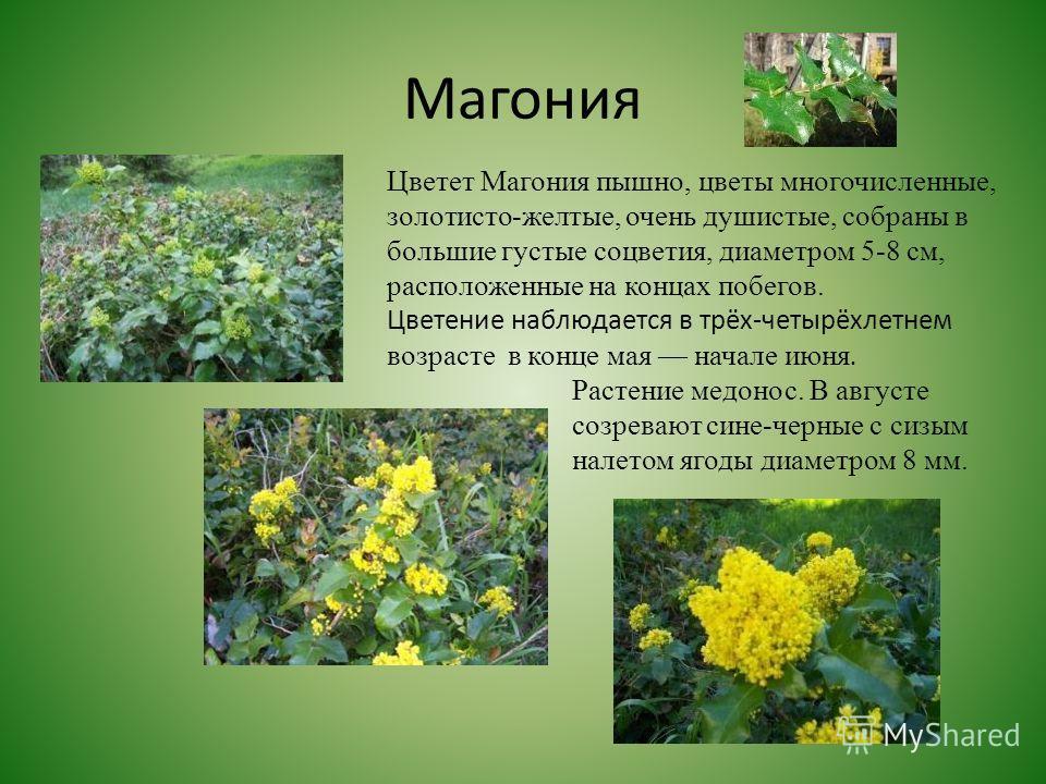 Магония Цветет Магония пышно, цветы многочисленные, золотисто-желтые, очень душистые, собраны в большие густые соцветия, диаметром 5-8 см, расположенные на концах побегов. Цветение наблюдается в трёх-четырёхлетнем возрасте в конце мая начале июня. Ра