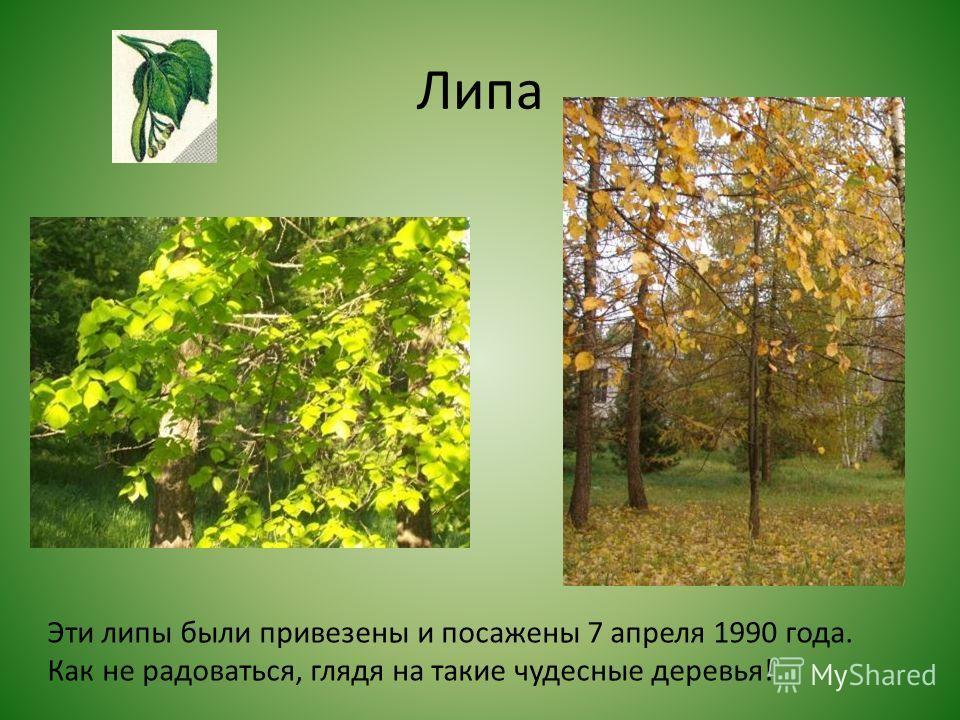 Липа Эти липы были привезены и посажены 7 апреля 1990 года. Как не радоваться, глядя на такие чудесные деревья!